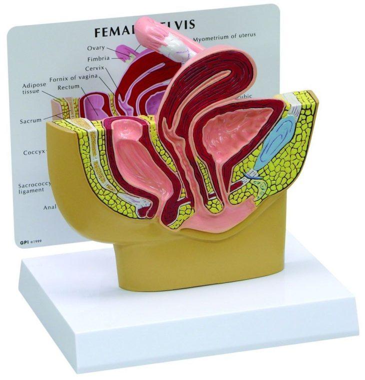 Modelo de anatomía de la sección de pelvis femenino básico